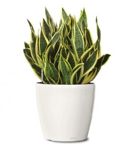 purify-your-home-naturally-6-air-purifying-house-plants-snake-plant