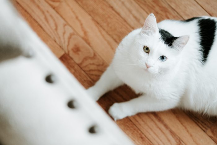 White and black cat on wooden floorboard