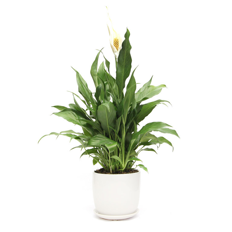 peace Lily in white planter