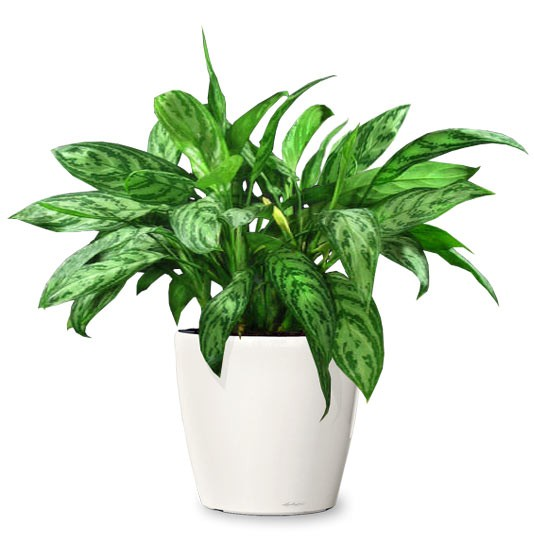 Chinese Evergreen in white pot