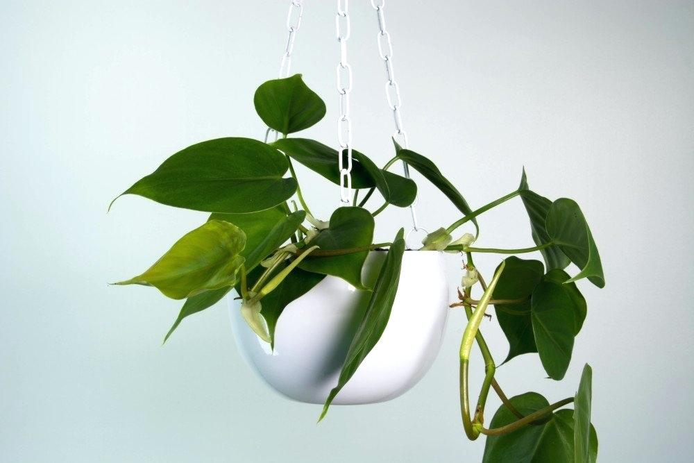 heartleaf philodendron in white hanging planter